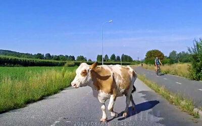 Po silnici v Malenovicích pochodovala kráva. Strážníci ji zahnali z vozovky a předali majiteli